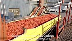 تکنولوژی کشاورزی مدرن: گوجه فرنگی کنسرو شده - گوجه فرنگی کشاورزی