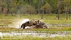 جنگ و نبرد شیرها و ببرها