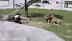 حمله وحشیانه حیوانات ب...