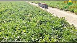 توصیه کنترل گل جالیز در مزارع گوجه فرنگی