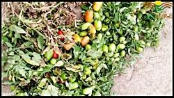 کاشت پربارترین بذر گوجه فرنگی لئوناردو در ابهر
