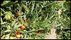 با مارول رکورد برداشت گوجه را بزنید