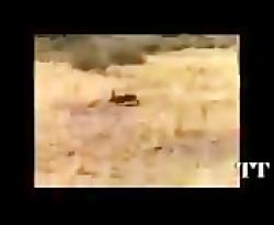 شکار روباه توسط عقاب  ف...