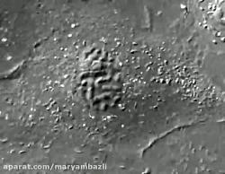 تقسیم میتوز در زیر میکروسکوپ ( مریم بذلی)