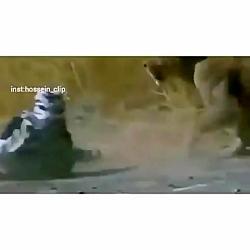 شکار گورخر قلابی