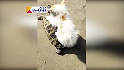 سواری لاک پشت به بچه گربه بامزه!