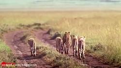 حمله شیر به چیتا برای ت...