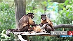 10 نژاد میمون با قیافه ه...