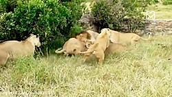 جنگ و نبرد شیرهای نر در ...