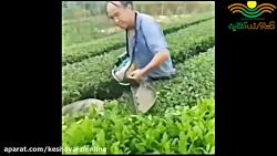 برداشت چای به روش فوق مدرن