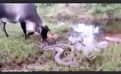 حمله گاو به مار پیتون وقتی میبینه گوساله اش توسط مار کشته شده و ...