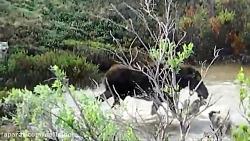 شکار گرگ و روباه توسط عقاب