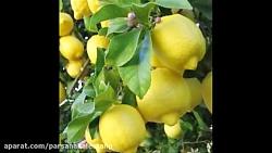 نهال لیمو ترش 09120398416 – خرید نهال لیمو ترش – فروش نهال لیمو ترش