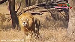 جنگ و نبرد شیر و پلنگ در حیات وحش