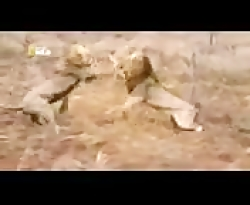 نبرد شیر ها وحشت انگیز