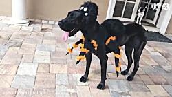 تزیین عجیب سگها برای جشن هالووین