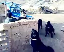 سگ های بسیار زیبا و وحشی قدرجون