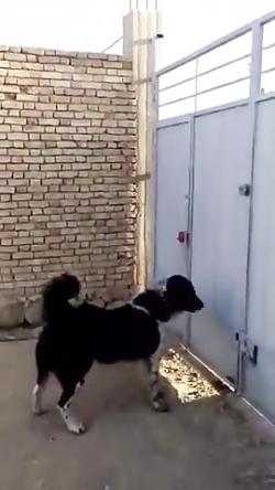 سگ های قدرجون