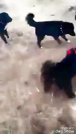 جنگ سگهای وحشی