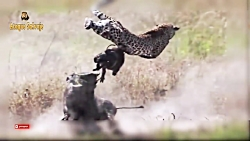 حمله شیر و پلنگ به گراز وحشی