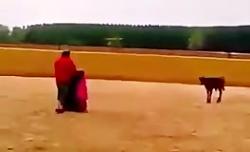 یك گاو سرکش رو بردن اسپانیا واسه گاو بازی، فكر كردن مثل گاوهای خودشونه، این هم ن
