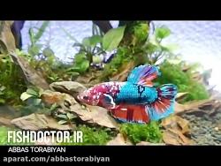 ماهی فایتر در تانک گیاهی BETTA FISH IN PLANTED TANK