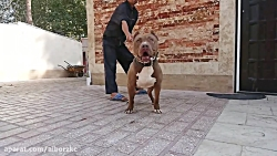سگ امریکن پیت بول - american pitbull terrier