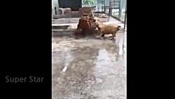نبرد واقعی شیر و ببر