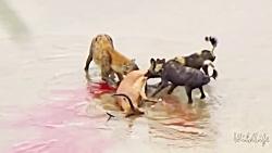 زنده خواری وحشتناک غزال توسط کفتار و سگ های وحشی