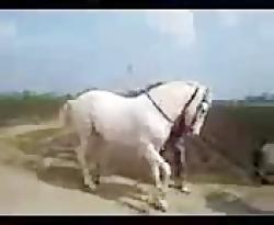 حیوانات_رقص اسب اصیل ایرانی