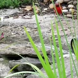 بوسه گرفتن ماهی قرمز از پرنده قرمز
