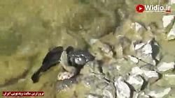شکار حرفه ای ماهی توسط مار