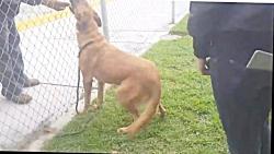 صحنه غم انگیز لحظه ای که یک سگ شپرد آلمانی صاحبش را می بیند