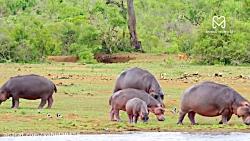 تلاش شیرها برای شکار اسب آبی در حیات وحش