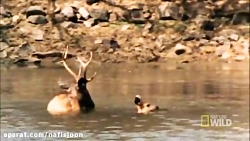 شکار گوزن توسط ببر بنگا...