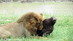 شکار بوفالو توسط شیر درنده