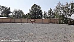 فروش اسب ترکمن آخال تکه سمند