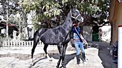 فروش اسب ترکمن مشکی