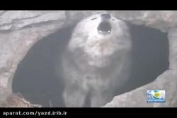 نقش گرگ ها در چرخه طبیع...