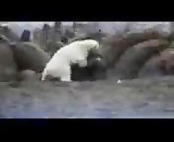 حیوانات _حمله خرس به شی...