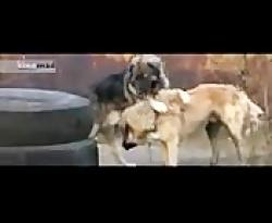 حیوانات_مبارزه سگها تا ...