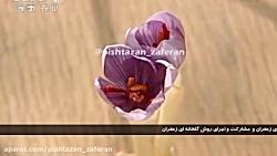کشت زعفران گلخانه ای در چین - شبکه ملی چین