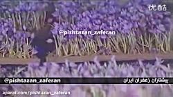 بخشی از آموزش روش کشت گلخانه ای زعفران در چین