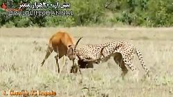 شکار ایمپالا توسط یوزپ...