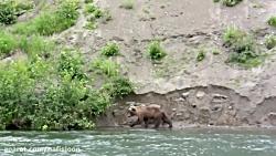 حمله عقاب به خرس گریزلی