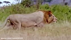 زایمان کفتار و قتل وحشتناک توله ها توسط شیرها در حیات وحش
