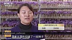 آموزش کشت گلخانه ای زعفران در چین