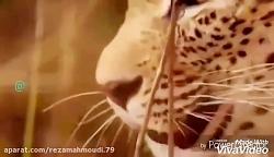 مستند لری(به زبان لری) حیات وحش قسمت ۱پلنگ پوزگرد و جغد