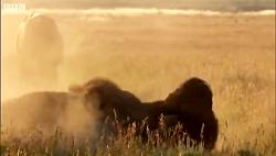 Bison Battle | Yellowstone حیوانات