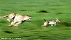 حمله پلنگ به غزال